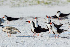 Black skimmer (Rynchops niger) Pensacola, Florida, USA.