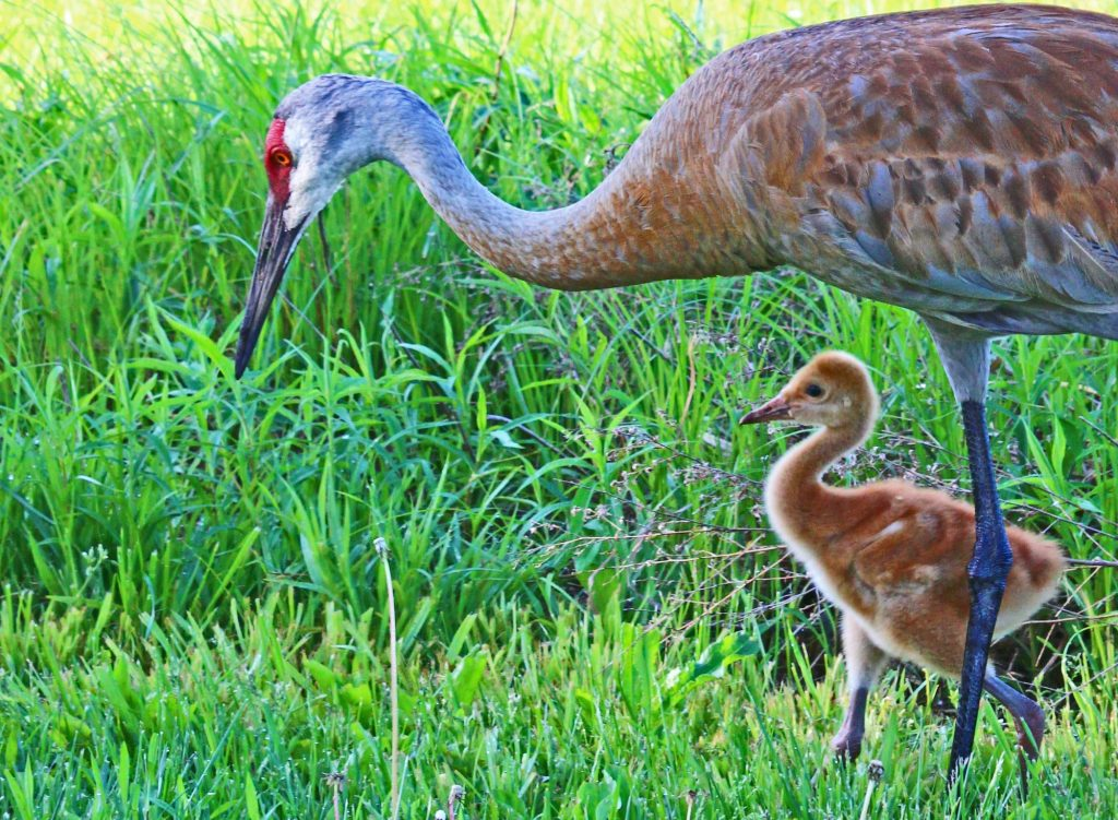 Mother crane and chick