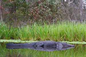 where to see alligators in Florida