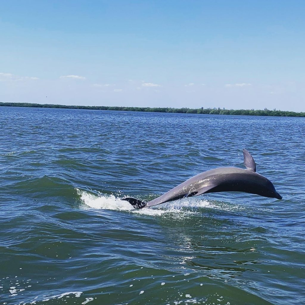 A dolphin plans in the wake during our boat trip from Cayo Costa State Park.