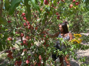 Orlando u-pick peach farm