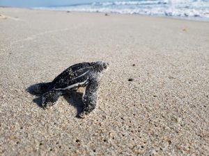 Nesting sea turtles and hatchlings abound on Florida's beaches in summertime.